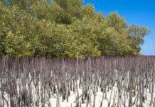 Mangrove Trees vital for environmental decontamination